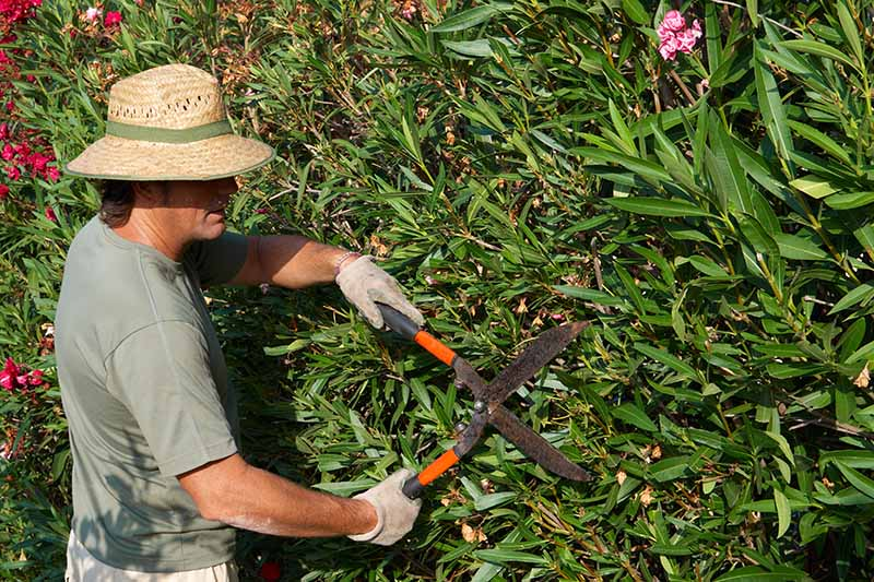 A horizontal image of a gardener holding large pruning shears and trimming perennial shrubs in the garden pictured in light sunshine.