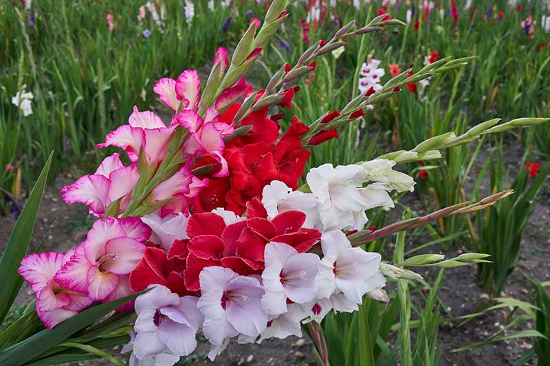 A close up horizontal image of gladiolus flowers being cut for a vase from the garden, pictured on a soft focus background.