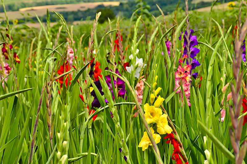 A close up horizontal image of brightly colored gladiolus flowers growing in a meadow, pictured on a soft focus background.