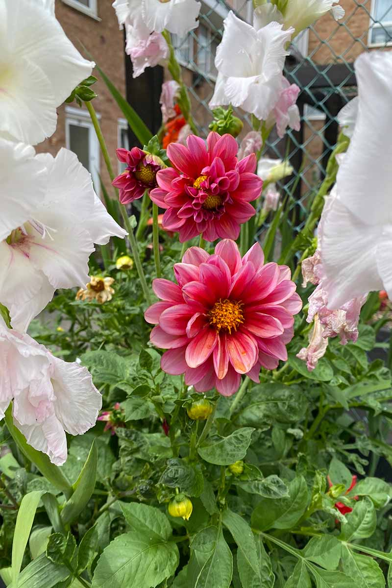 A close up vertical image of a garden planted with gladioli and dahlias growing outdoors.