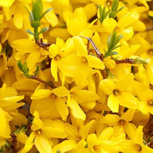 A close up square image of a large cluster of bright yellow flowers of 'Gold Tide' shrub.