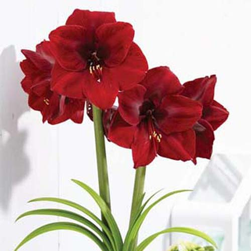 A close up square image of Hippeastrum 'Grand Diva' bright red flowers growing in a pot indoors pictured on a white background.