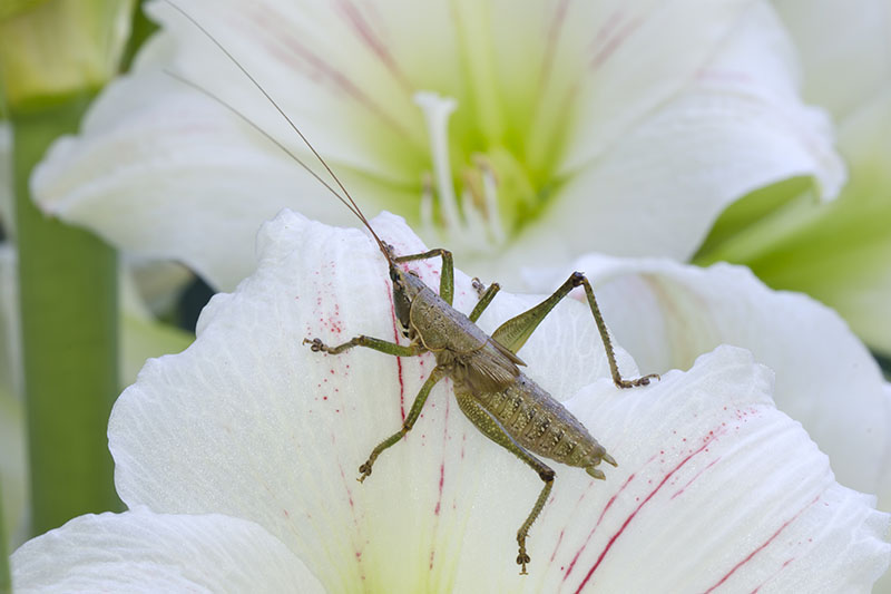 A close up horizontal image of a small grasshopper on a plant growing in the garden.