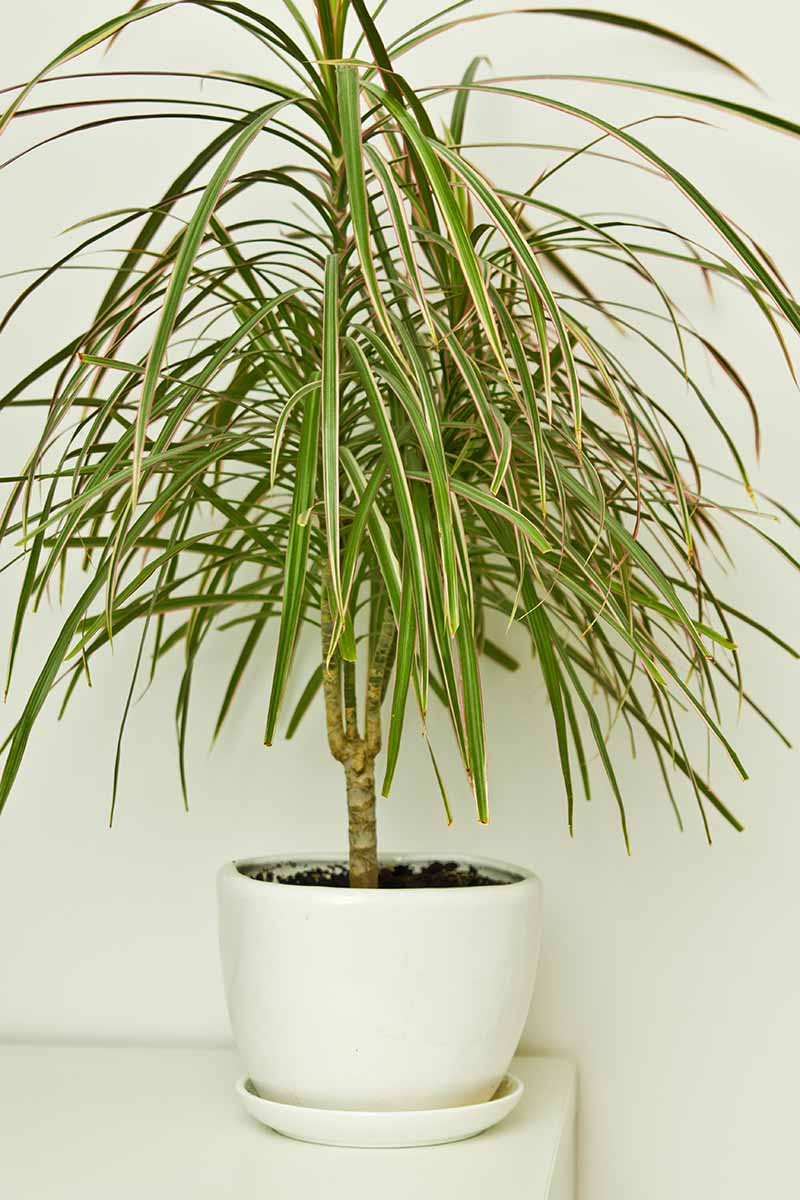 A close up vertical image of a houseplant growing in a small white pot set on a shelf pictured against a white wall.
