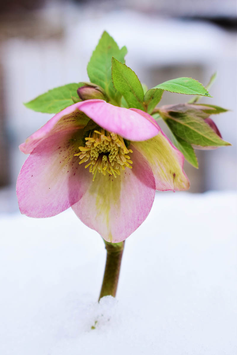 A close up vertical image of a pink flower growing through the winter snow, pictured on a soft focus background.