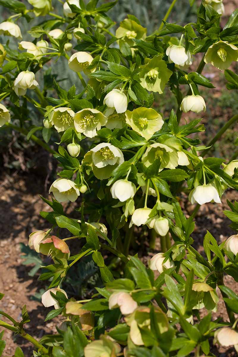 A close up vertical image of hellebore flowers growing in the spring garden pictured in light sunshine on a soft focus background.