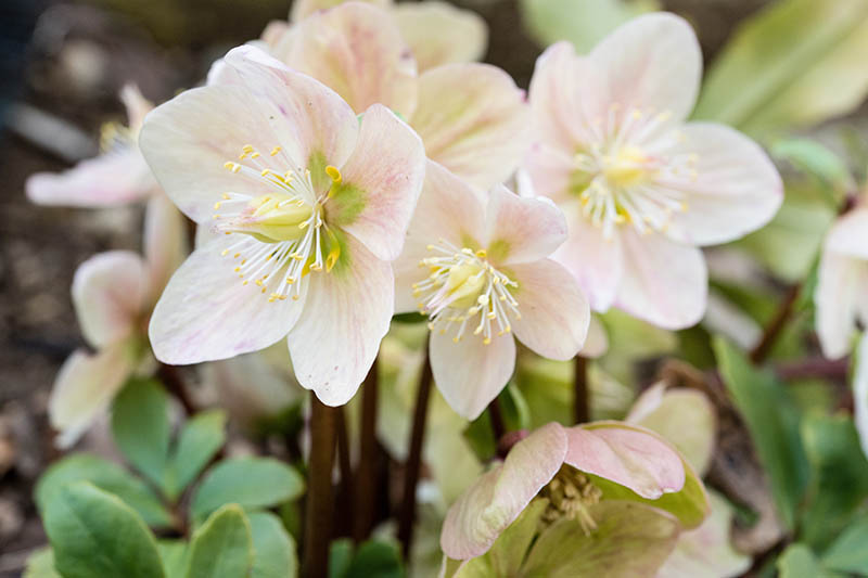 A close up horizontal image of late winter flowers growing in the garden.