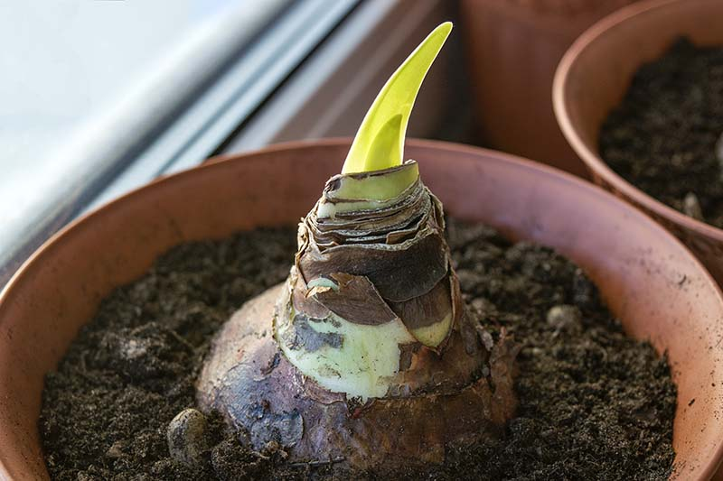 A close up horizontal image of a small sprout appearing from a bulb growing in a container set on a windowsill.