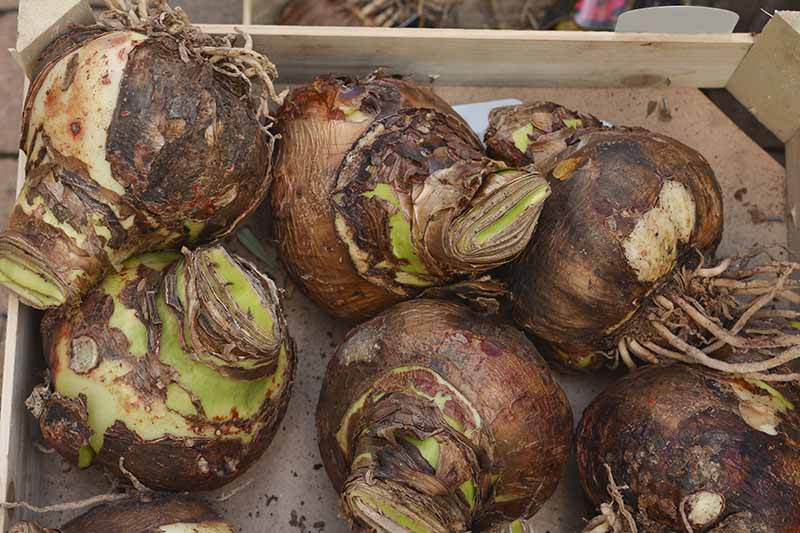 A close up horizontal image of six Hippeastrum bulbs set in a wooden crate.
