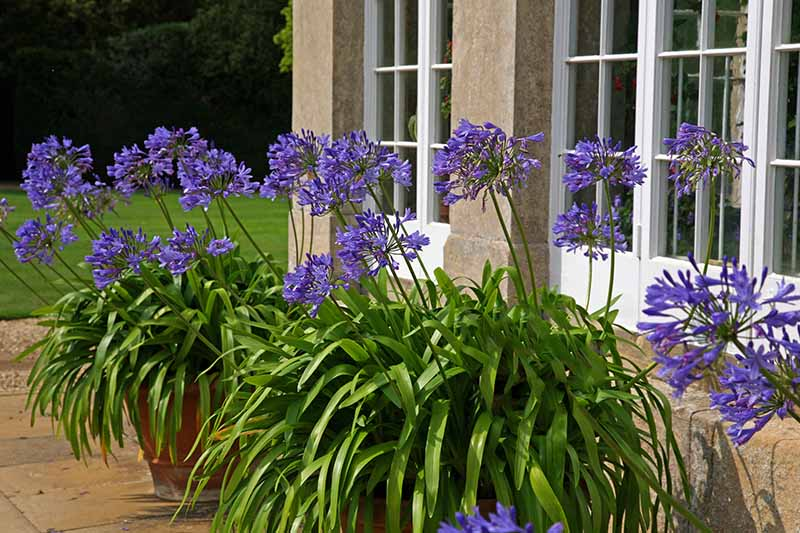 A close up horizontal image of a patio outside a Georgian home with bright blue agapanthus flowers growing in terra cotta containers pictured in bright sunshine.