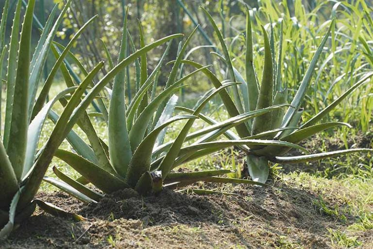 A close up horizontal image of large aloe plants growing in the garden in bright sunshine pictured on a soft focus background.