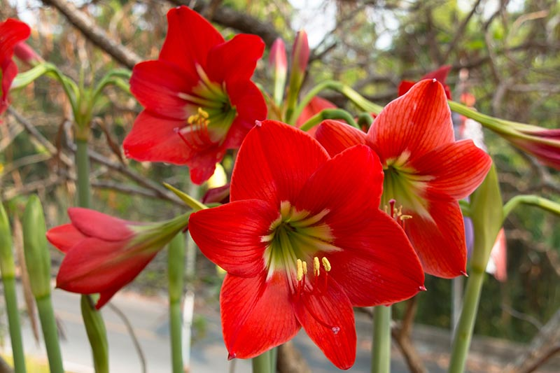 A close up horizontal image of bright red Hippeastrum flowers growing in the garden pictured on a soft focus background.