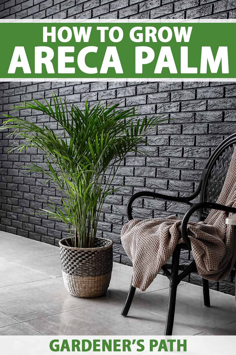 A vertical image of a Dypsis​ ​lutescens​ growing in a small decorative container set on a tiled floor next to a chair with a brown throw. To the top and bottom of the frame is green and white printed text.