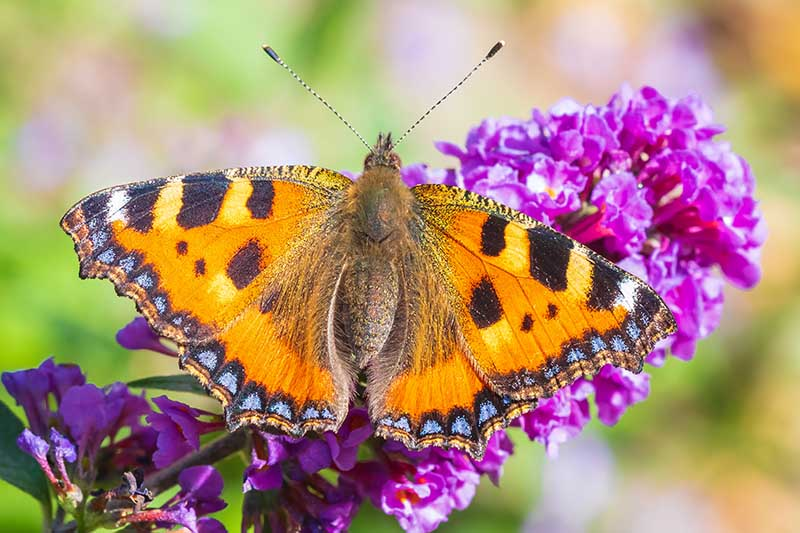 A close up horizontal image of a butterfly feeding on the nectar of a purple Buddleia flower pictured on a soft focus background.