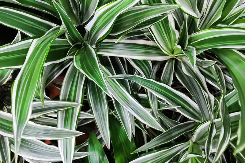A close up horizontal image of the green and white variegated foliage of dracaena, a popular houseplant.