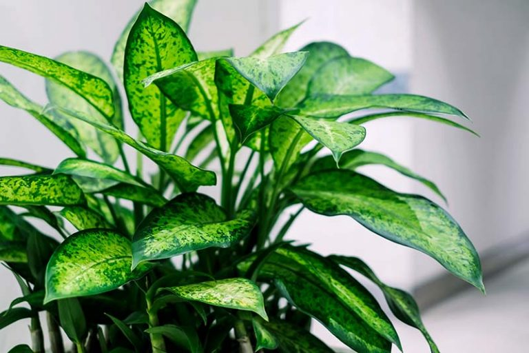 A close up horizontal image of a dieffenbachia plant growing indoors with colorful foliage pictured on a soft focus background.