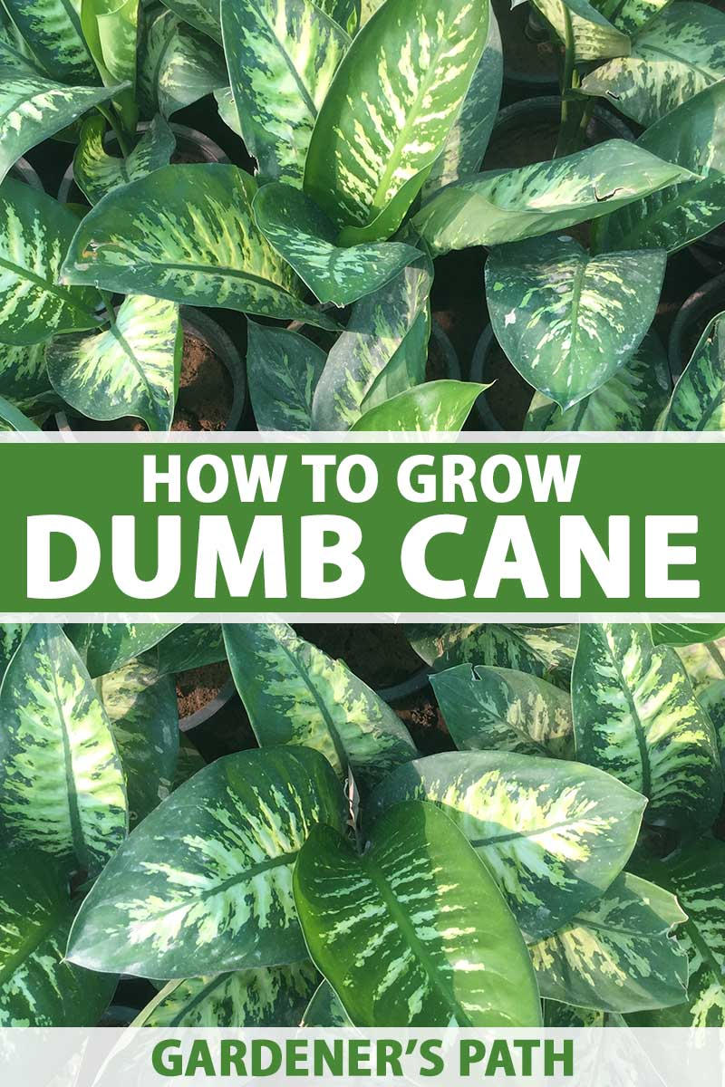 A close up vertical image of a number of dumb cane (Dieffenbachia) plants growing in small black plastic pots. To the center and bottom of the frame is green and white printed text.