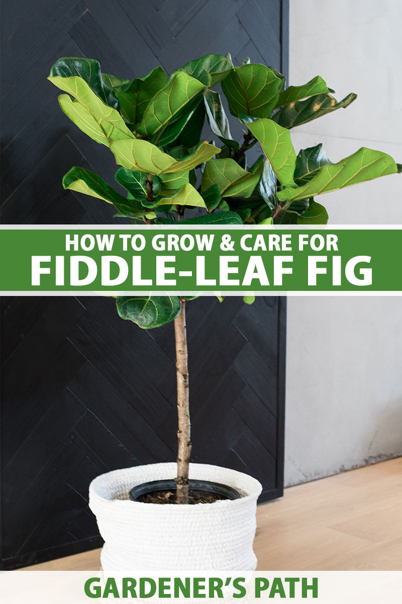 A close up vertical image of a fiddle-leaf fig plant growing in a decorative container indoors, with a dark and light wall in the background. To the center and bottom of the frame is green and white printed text.
