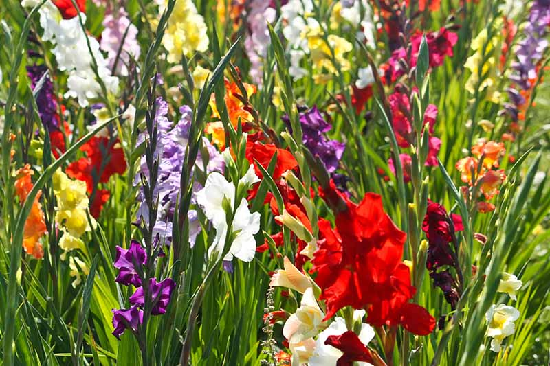 A close up horizontal image of bright gladiolus flowers growing in bright sunshine in the garden.