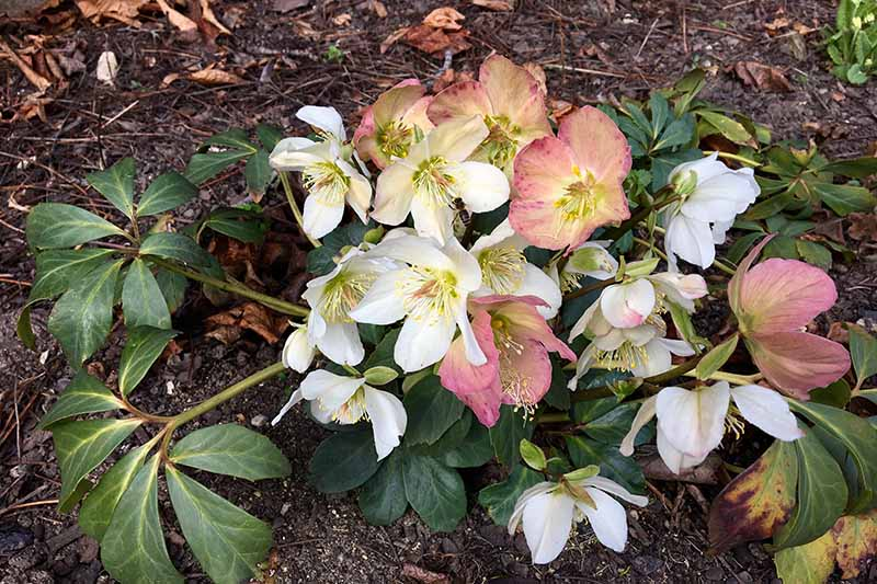 A close up horizontal image of pink and white hellebore flowers growing in the late winter garden with soil and fallen leaves in soft focus in the background.