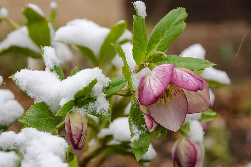 A close up horizontal image of a pink hellebore flower growing in the late winter garden with a light dusting of snow on the foliage, pictured on a soft focus background.