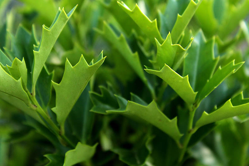 A close up horizontal image of the glossy green foliage of Ilex x 'Conaf' pictured in light sunshine and fading to soft focus in the background.