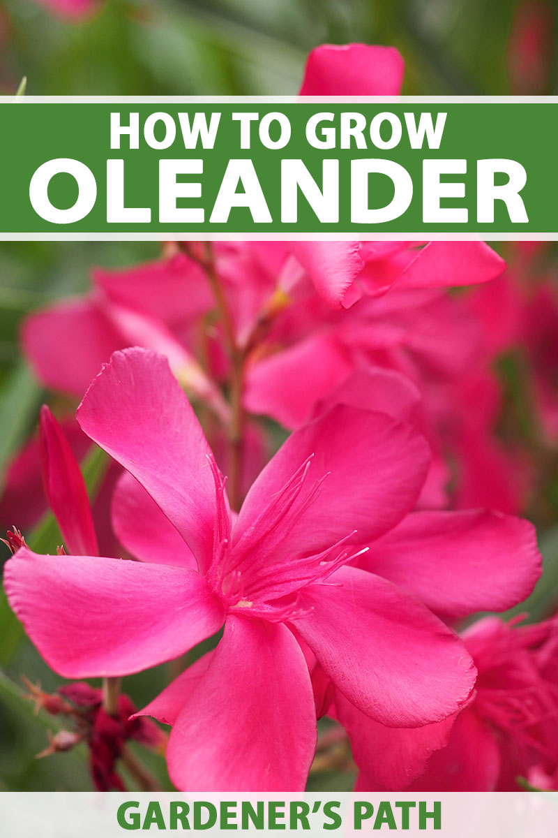 A close up vertical image of the bright pink flowers of Nerium oleander growing in the garden pictured on a soft focus background. To the top and bottom of the frame is green and white printed text.