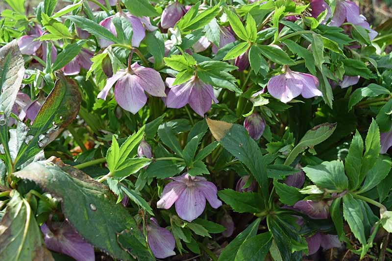 A close up horizontal image of purple nodding hellebore flowers growing in the spring garden surrounded by glossy green foliage.