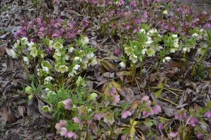 What Is Hellebore Black Death?
