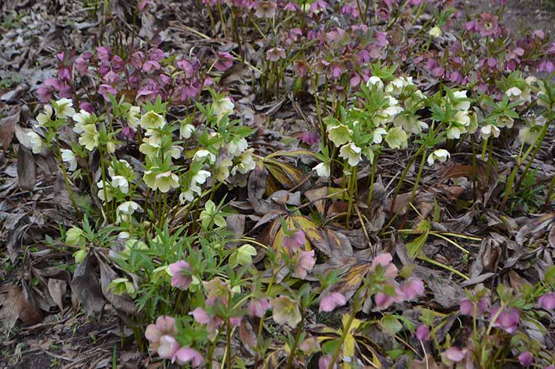 A horizontal image of a large swath of hellebore flowers blooming in the late winter garden.