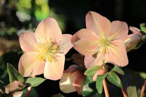 How to Identify and Control Hellebore Pests