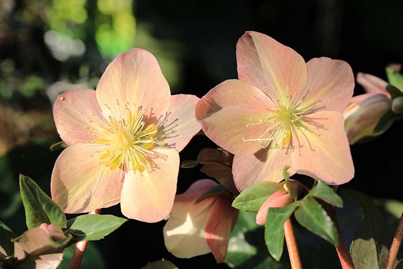 A close up horizontal image of two peach colored hellebore flowers growing in the garden pictured in bright sunshine on a soft focus background.