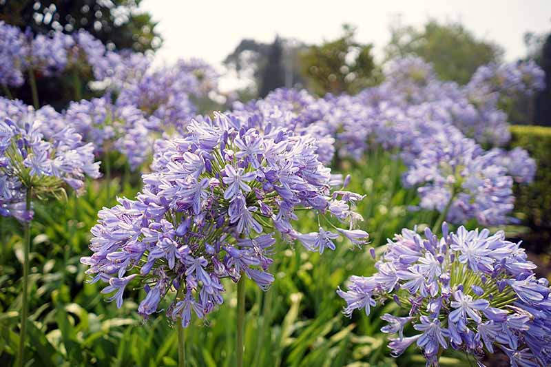 A close up horizontal image of bright blue agapanthus flowers growing in the garden pictured on a soft focus background.
