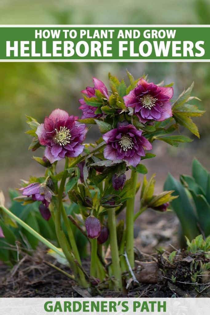 A close up vertical image of a small clump of purple double-flowered hellebores growing in the early spring garden pictured on a soft focus background. To the top and bottom of the frame is green and white printed text.