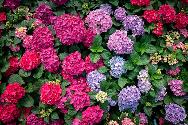 A close up horizontal image of glorious hydrangea flowers in blue, red, pink, and purple growing in the summer garden surrounded by deep green foliage.