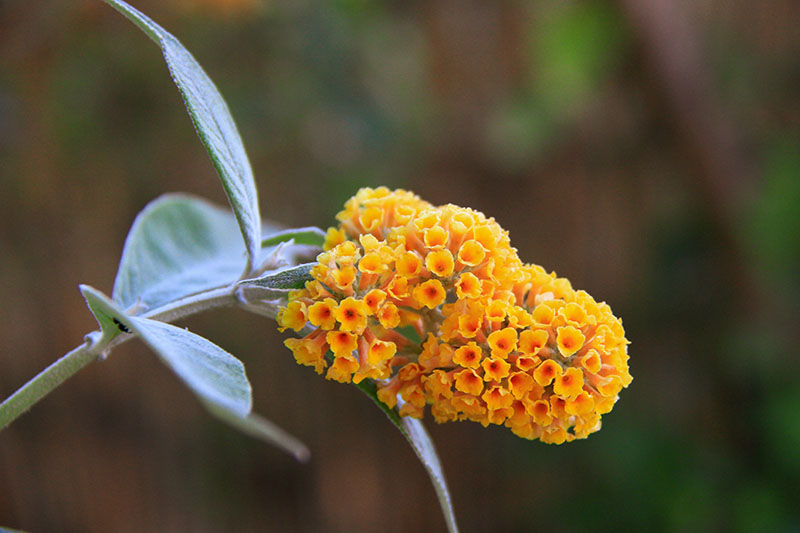 A close up horizontal image of a bright orange Buddleia flower pictured on a soft focus background