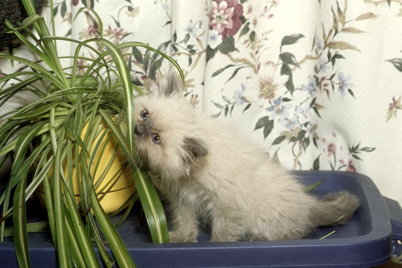 A close up horizontal image of a small Burmese feline playing with a potted plant and trying to consume the foliage.