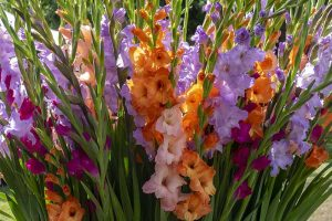 How to Grow and Care for Gladiolus