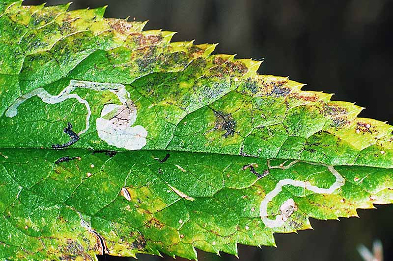 A close up horizontal image of a hellebore leaf showing damage caused by leaf miners.