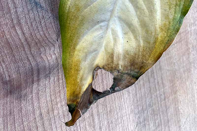 A close up horizontal image of a Dieffenbachia plant suffering from an infection known as leaf spot that causes holes in the foliage.