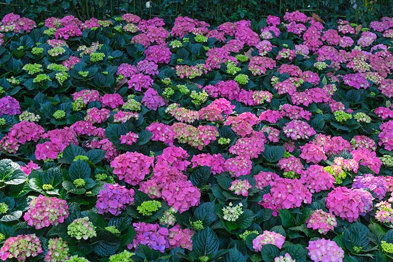 A close up horizontal image of a mountain hydrangea with different colored blossoms, growing in the garden.