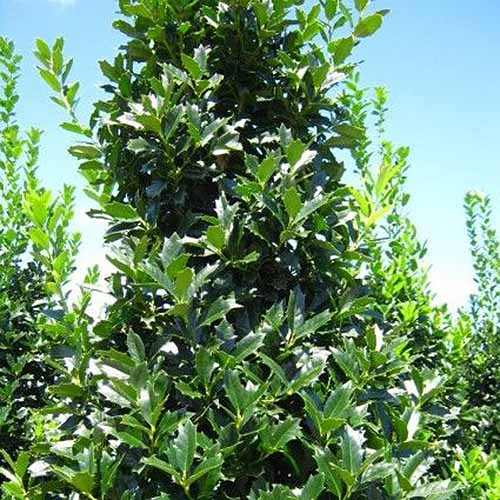 A close up horizontal image of a large Ilex x 'Conaf' shrub growing in the garden pictured on a blue sky background.
