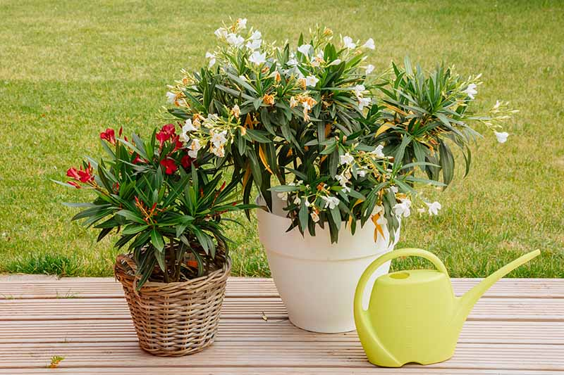 A close up horizontal image of two potted flowering shrubs set on the side of a wooden deck with lawn in the background and a watering can to the right of the frame.