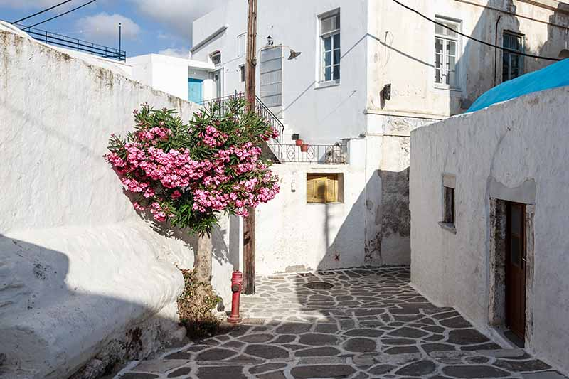 A horizontal image of a paved street in Greece with a pink flowering oleander shrub growing in a small gap in the road pictured in bright sunshine with white houses in the background.