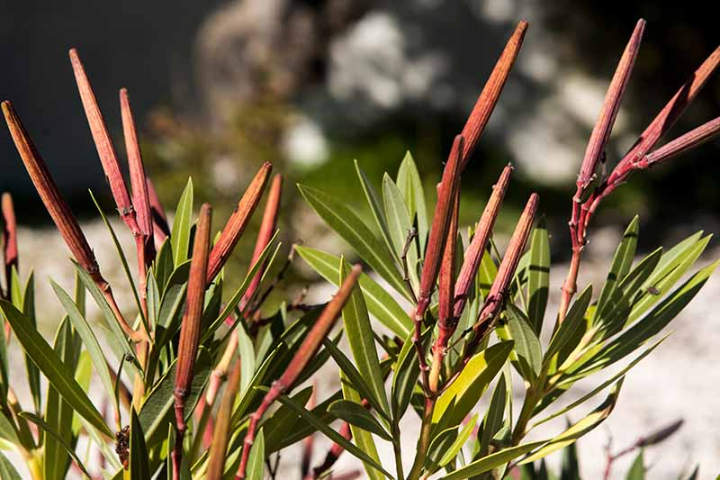 A close up horizontal image of long thin seed pods developing on a shrub pictured in bright sunshine on a soft focus background.