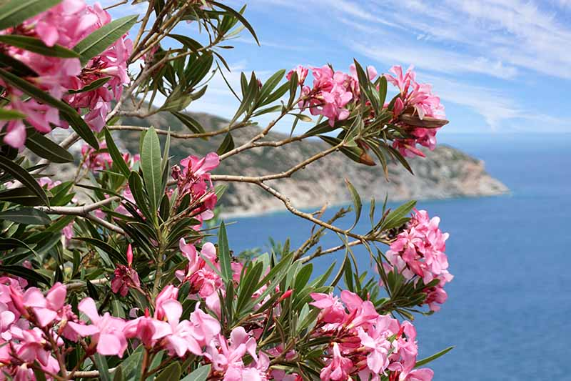 A close up horizontal image of a large Nerium oleander shrub growing in a coastal garden with the sea and blue sky in the background.