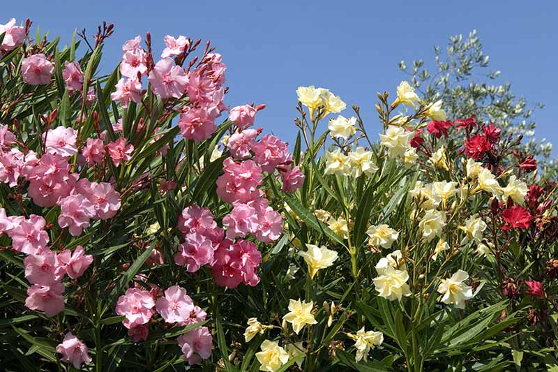 A close up horizontal image of Nerium oleander shrubs with pink, yellow, and red blooms growing in bright sunshine pictured on a blue sky background.