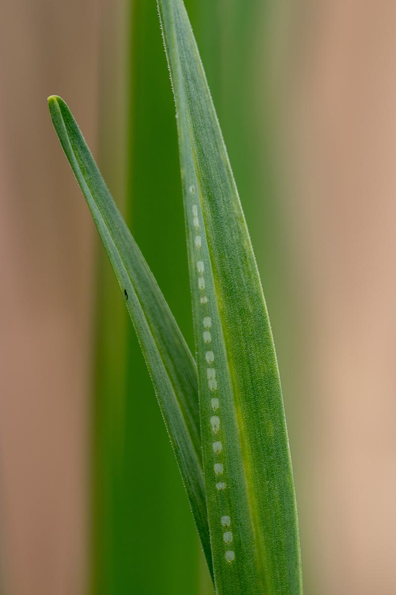A close up vertical image of the damage caused by the adult flies of the allium leaf miner pictured on a soft focus background.