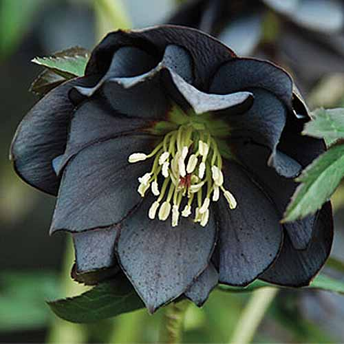 A close up square image of H. x hybridus 'Onyx Odyssey' growing in the garden pictured on a soft focus background.