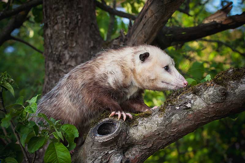 A close up horizontal image of an opossum climbing a tree in the background.